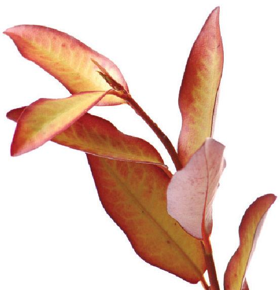 Horopito Plant
